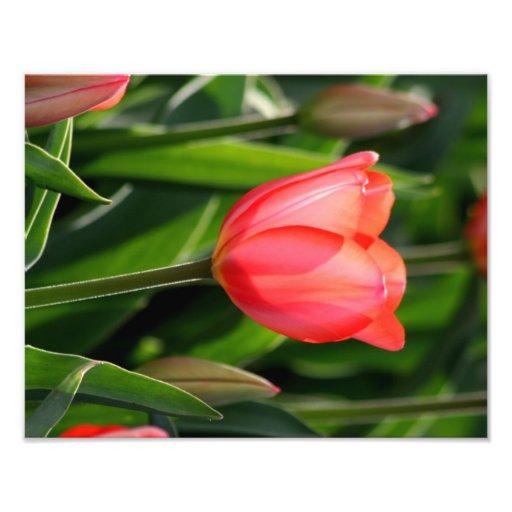 Back Lit Pink Tulip Fine Art Print Art Photo