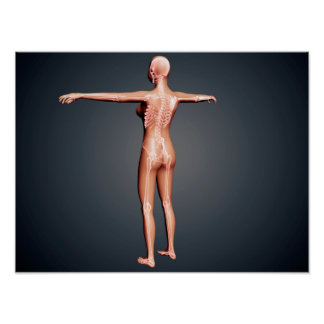 Back View Of Female Body With Skeletal System Poster