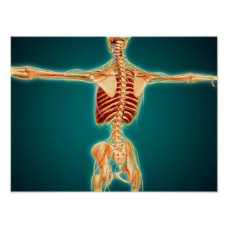 Back View Of Human Skeleton With Nervous System Poster