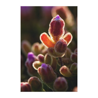 Backlit Colorful Succulent Flower Bud With Rim Gallery Wrap Canvas