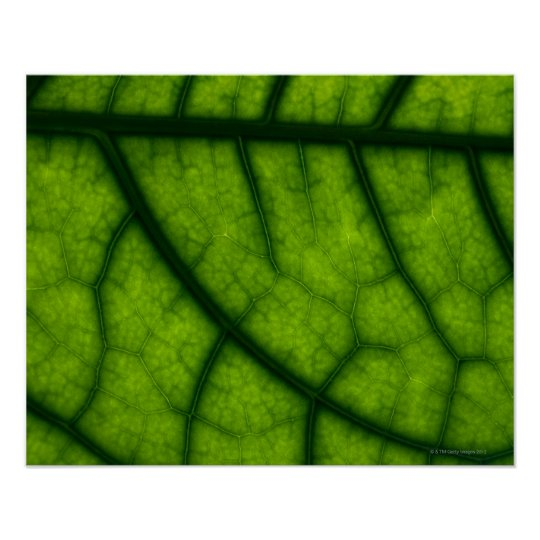 Backlit Green Leaf Poster