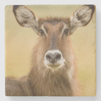Backlit Portrait Of Female Defassas Waterbuck Stone Coaster