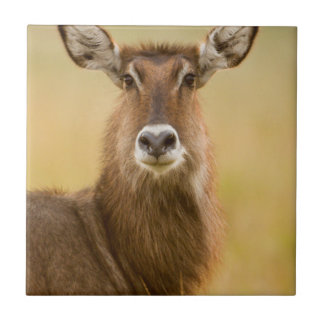 Backlit Portrait Of Female Defassas Waterbuck Tile