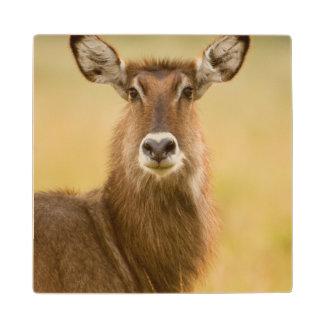 Backlit Portrait Of Female Defassas Waterbuck Wood Coaster