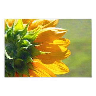 Backside of Sunflower Photo Art