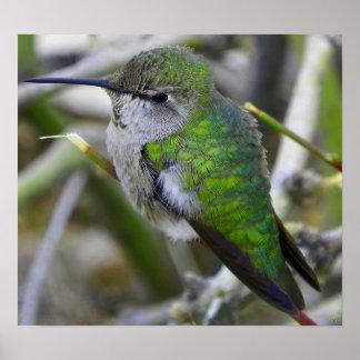 Backyard Hummingbird Poster