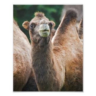 Bactrian Camel Print Photo
