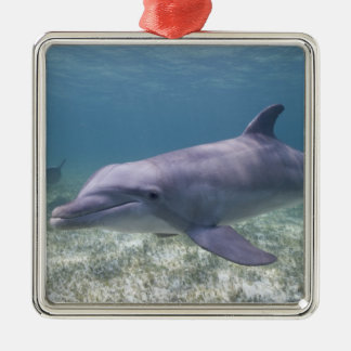 Bahamas, Grand Bahama Island, Freeport, Captive 2 Silver-Colored Square Decoration