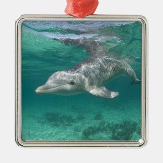 Bahamas, Grand Bahama Island, Freeport, Captive 5 Silver-Colored Square Decoration