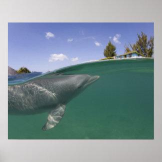 Bahamas, Grand Bahama Island, Freeport, Captive Poster
