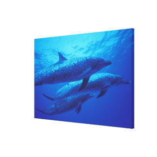 Bahamas, Spotted dophins. Gallery Wrapped Canvas