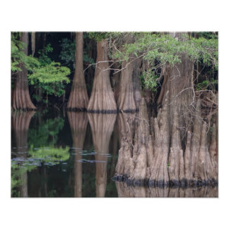 bald Cypress Tree Forest Poster