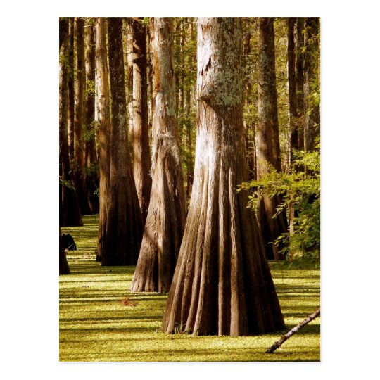 Bald Cypress Trees with Buttress Trunks Postcard