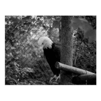 Bald Eagle 2 Postcard