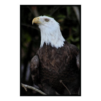 Bald Eagle Art Poster