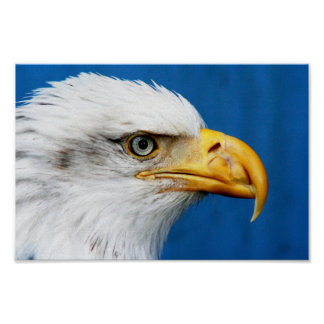 Bald Eagle at John Heinz National Wildlife Refuge Poster