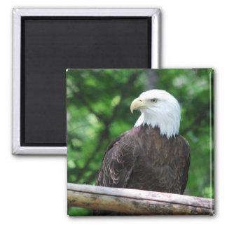 Bald Eagle Bird Magnet Refrigerator Magnet