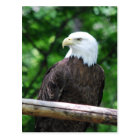 Bald Eagle Bird Postcard