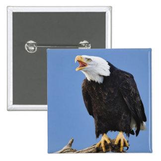 Bald Eagle calling, Homer, Alaska, Haliaetus 15 Cm Square Badge