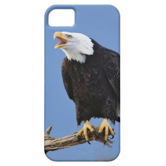 Bald Eagle calling, Homer, Alaska, Haliaetus Barely There iPhone 5 Case