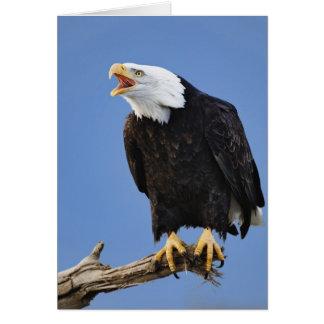 Bald Eagle calling, Homer, Alaska, Haliaetus Card