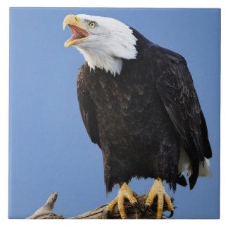Bald Eagle calling, Homer, Alaska, Haliaetus Tile