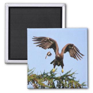 Bald Eagle Chased by a mockingbird Fridge Magnets