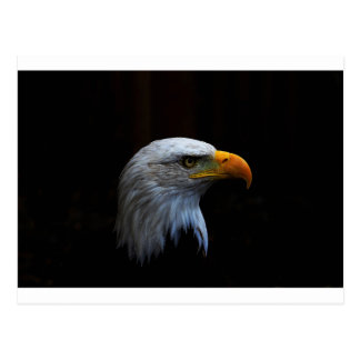 Bald Eagle copy.jpg Postcard