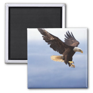 Bald Eagle Dive Magnet