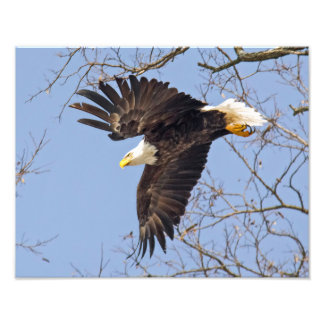 Bald Eagle Dive Photograph