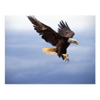 Bald Eagle Dive Postcard