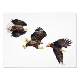 Bald Eagle Flight Photo Art