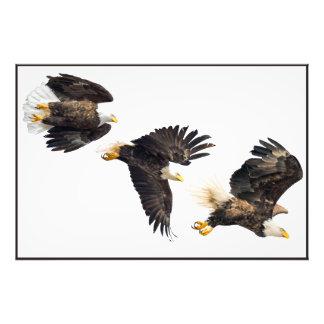 Bald Eagle Flight Photo