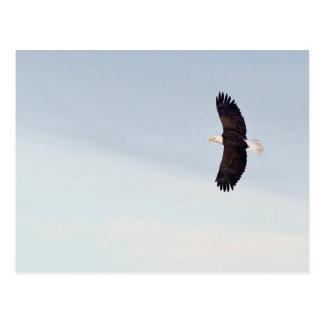 Bald Eagle flying Postcard