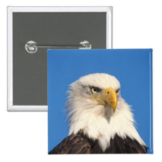 bald eagle, Haliaeetus leuccocephalus, 2 15 Cm Square Badge