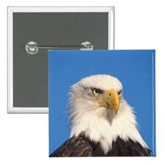 bald eagle, Haliaeetus leuccocephalus, 2 15 Cm Square Badge