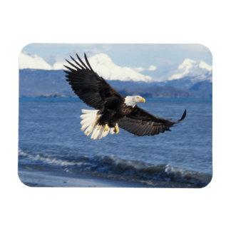 bald eagle, Haliaeetus leuccocephalus, in flight Rectangular Photo Magnet