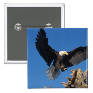 bald eagle, Haliaeetus leuccocephalus, landing 15 Cm Square Badge