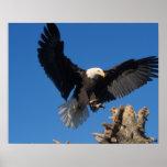 bald eagle, Haliaeetus leuccocephalus, landing Poster