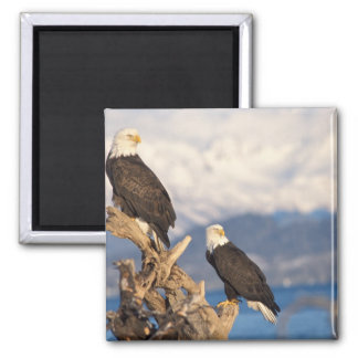 bald eagle, Haliaeetus leuccocephalus, pair Magnet