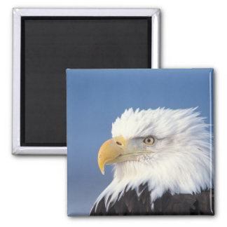 bald eagle, Haliaeetus leuccocephalus, Square Magnet