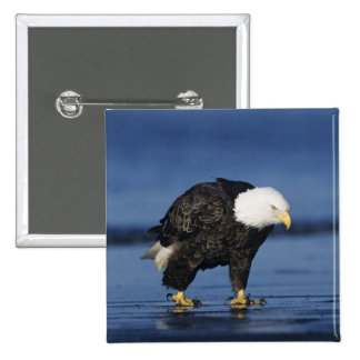 Bald Eagle, Haliaeetus leucocephalus,adult 15 Cm Square Badge