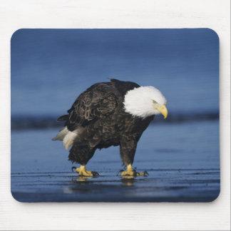 Bald Eagle, Haliaeetus leucocephalus,adult Mouse Pad