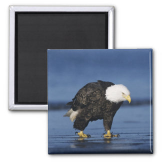 Bald Eagle, Haliaeetus leucocephalus,adult Square Magnet
