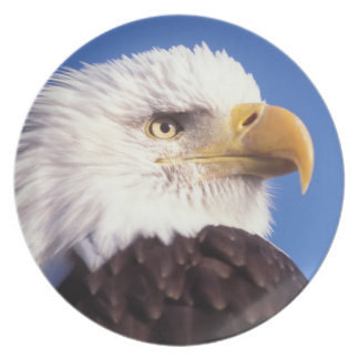 bald eagle, Haliaeetus leucocephalus, close up, 3 Dinner Plates