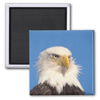 bald eagle, Haliaeetus leucocephalus, close up, Fridge Magnet