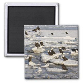 Bald Eagle, Haliaeetus leucocephalus, Homer, 2 Square Magnet