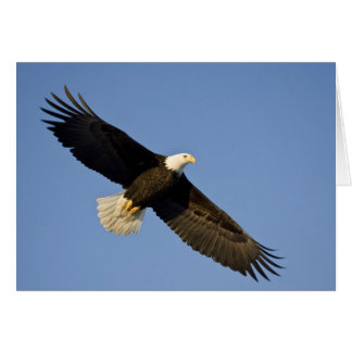 Bald Eagle, Haliaeetus leucocephalus, Homer, 4 Card