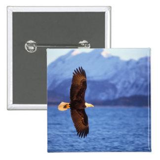 bald eagle, Haliaeetus leucocephalus, in flight 15 Cm Square Badge