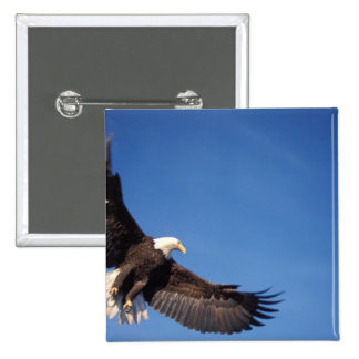 bald eagle, Haliaeetus leucocephalus, in flight 2 15 Cm Square Badge